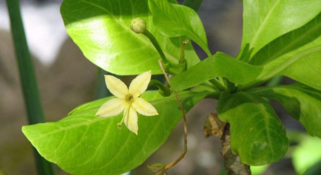 растение бригамия