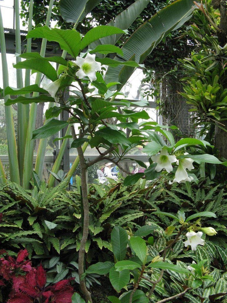 Beaumontia_grandiflora