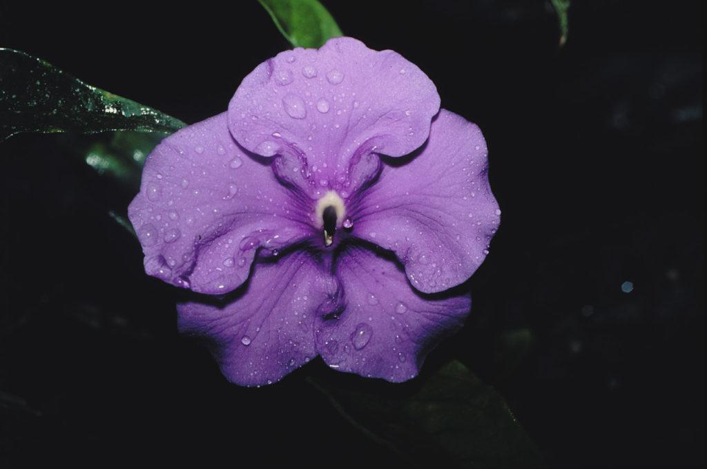 брунфельсия вид
