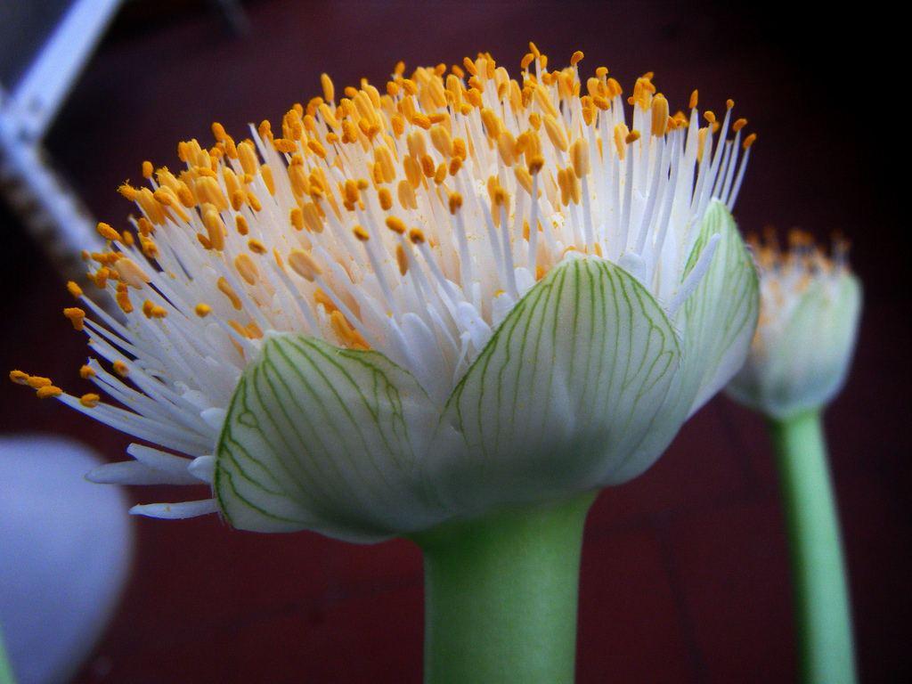 гемантус белоцветковый