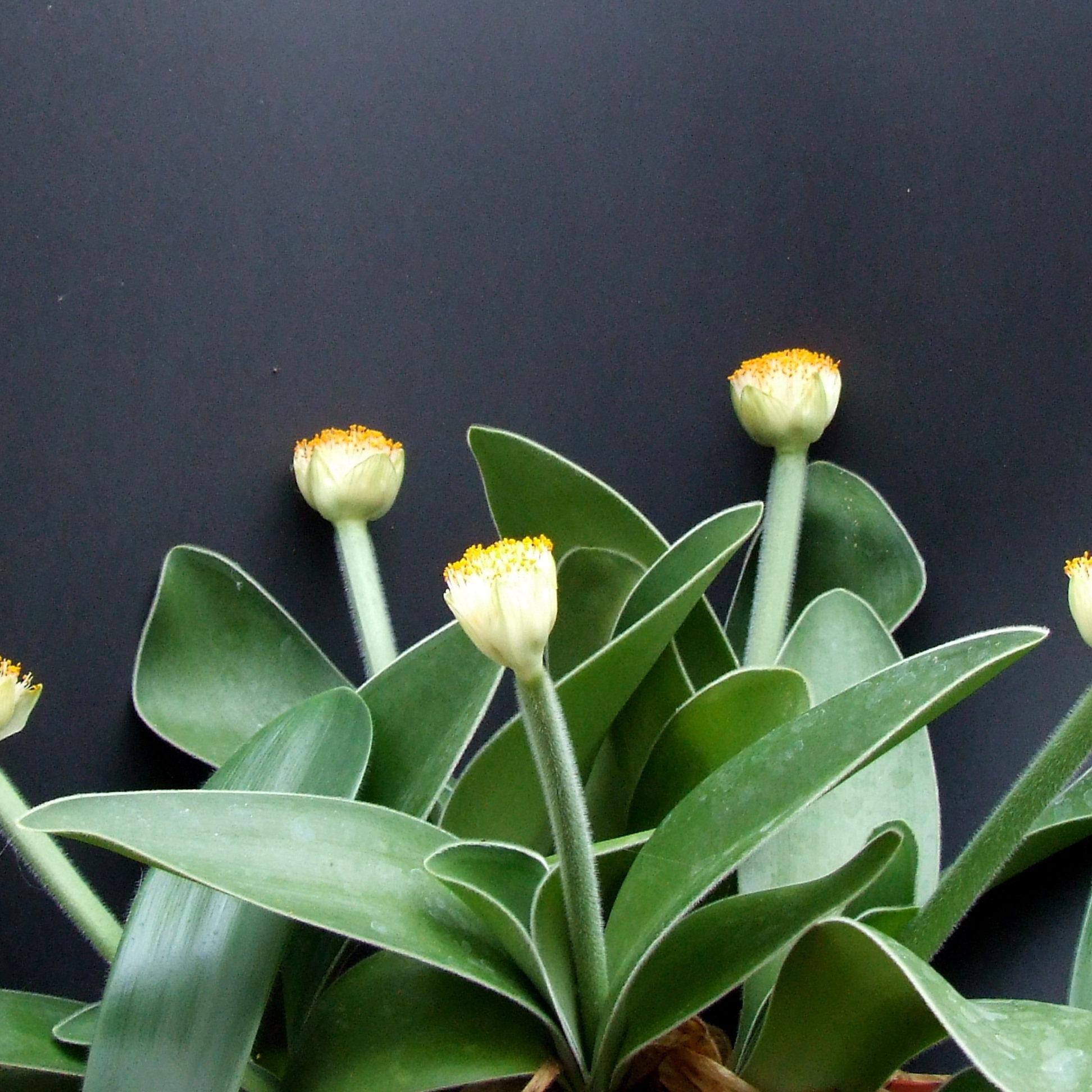 гемантусом белоцветковым