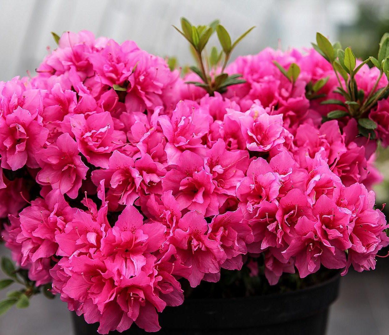 комнатные цветы азалия фото названия и уход