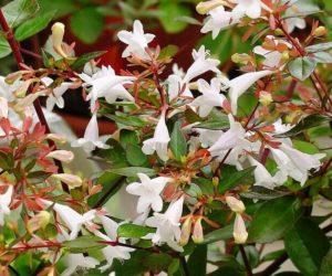 Абелия крупноветковая или грандифлора