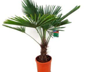 Финик (финиковая пальма)